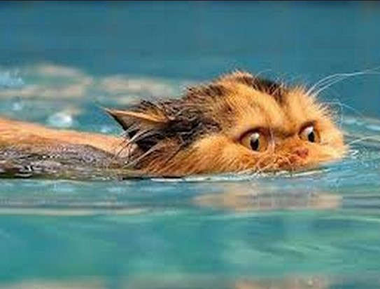 my cat can swim